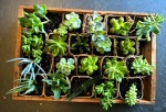 succulent growing gifts living plants Gold Coast