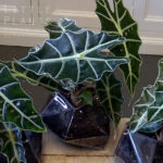 alocasia indoor plant gift gold coast