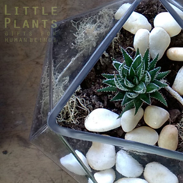 Haworthia In Geometric Glass Little Plants