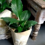 peace lily plant delivery gold coast