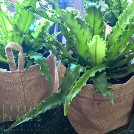 Gold Coast gift plants delivered