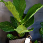 fiddle leaf fig plant gift gold coast delivery