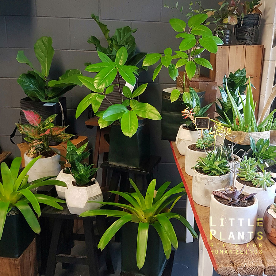 little plants living gifts gold coast delivery