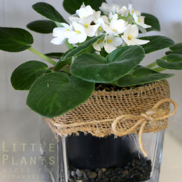 African-violet plant Gold Coast