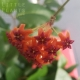 Hoya flower plant Gold Coast