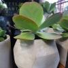 concrete pot flapjack succulent parkwood plant delivery