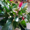 anthurium-plant gift Gold Coast
