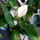 indoor anthurium-plant for Gold Coast delivery